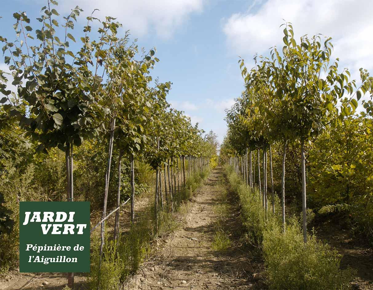 Planter des arbres d'avenue à Toulouse, en Haute Garonne, dans le Gers ou en Ariège - Pépinière de l'Aiguillon