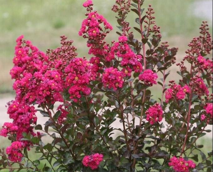 Lilas des Indes ou lagerstroemia rouge rose blanc - Pépinière de l'Aiguillon Jardi Vert Toulouse