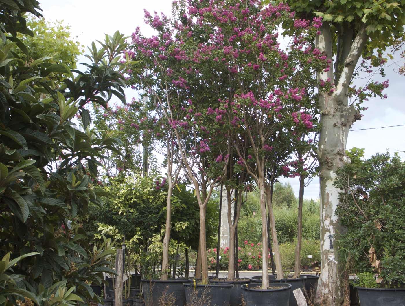 Vente de lilas des Indes adultes - Pépinière de l'Aiguillon producteur Toulouse