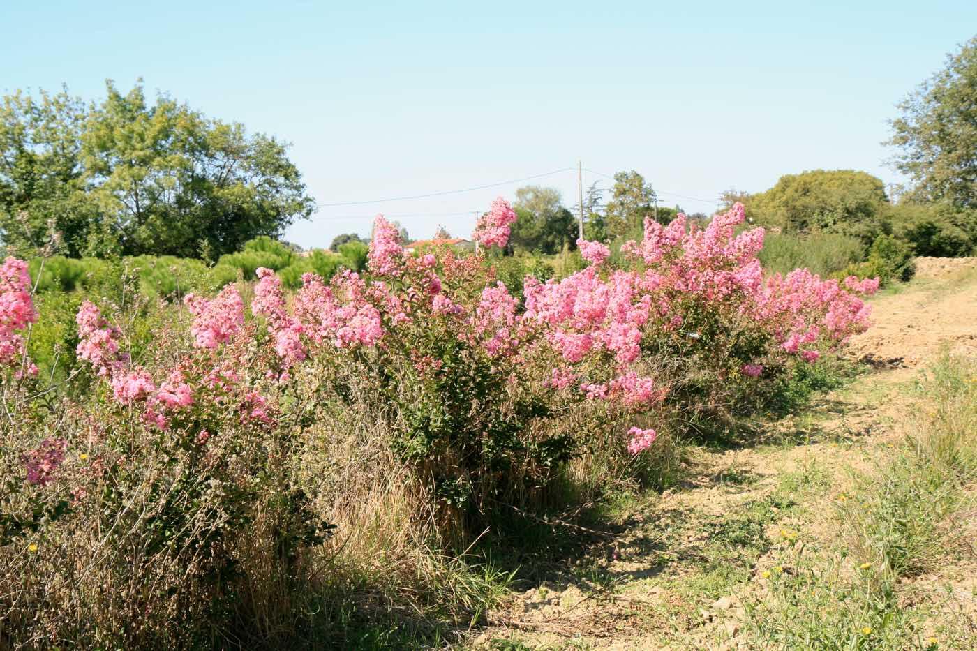 Vente de forsythia - Pépinière de l'Aiguillon Jardi Vert Toulouse