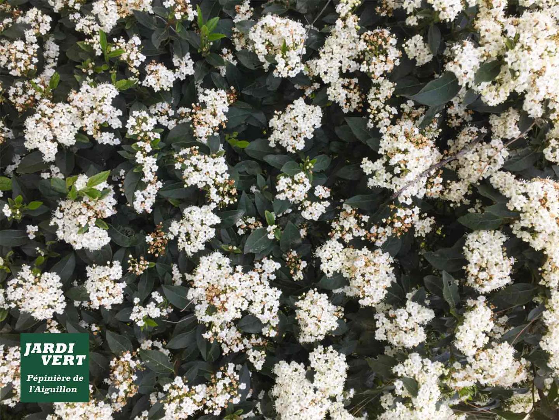 Vente de laurier tin ou viburnum tinus - Le buisson de haie persistant, fleuri et nécessitant peu de taille ! Pépinière de l'Aiguillon à Toulouse