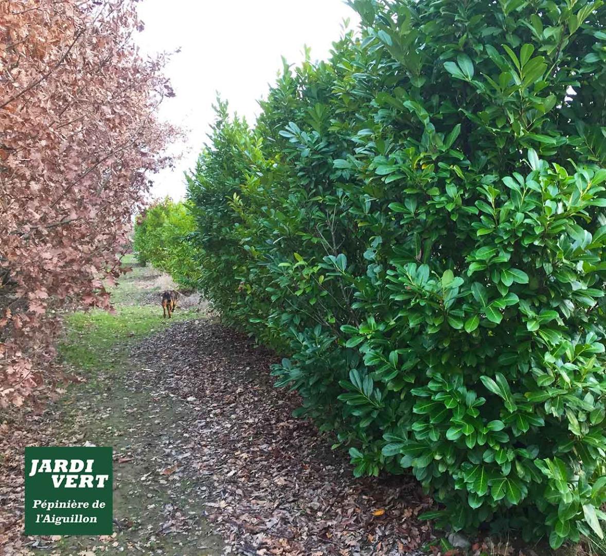 Vente de laurieres (prunus laurocerasus rotundifolia) ou laurier cerise ou laurier amande ou laurier du Caucase, à Toulouse
