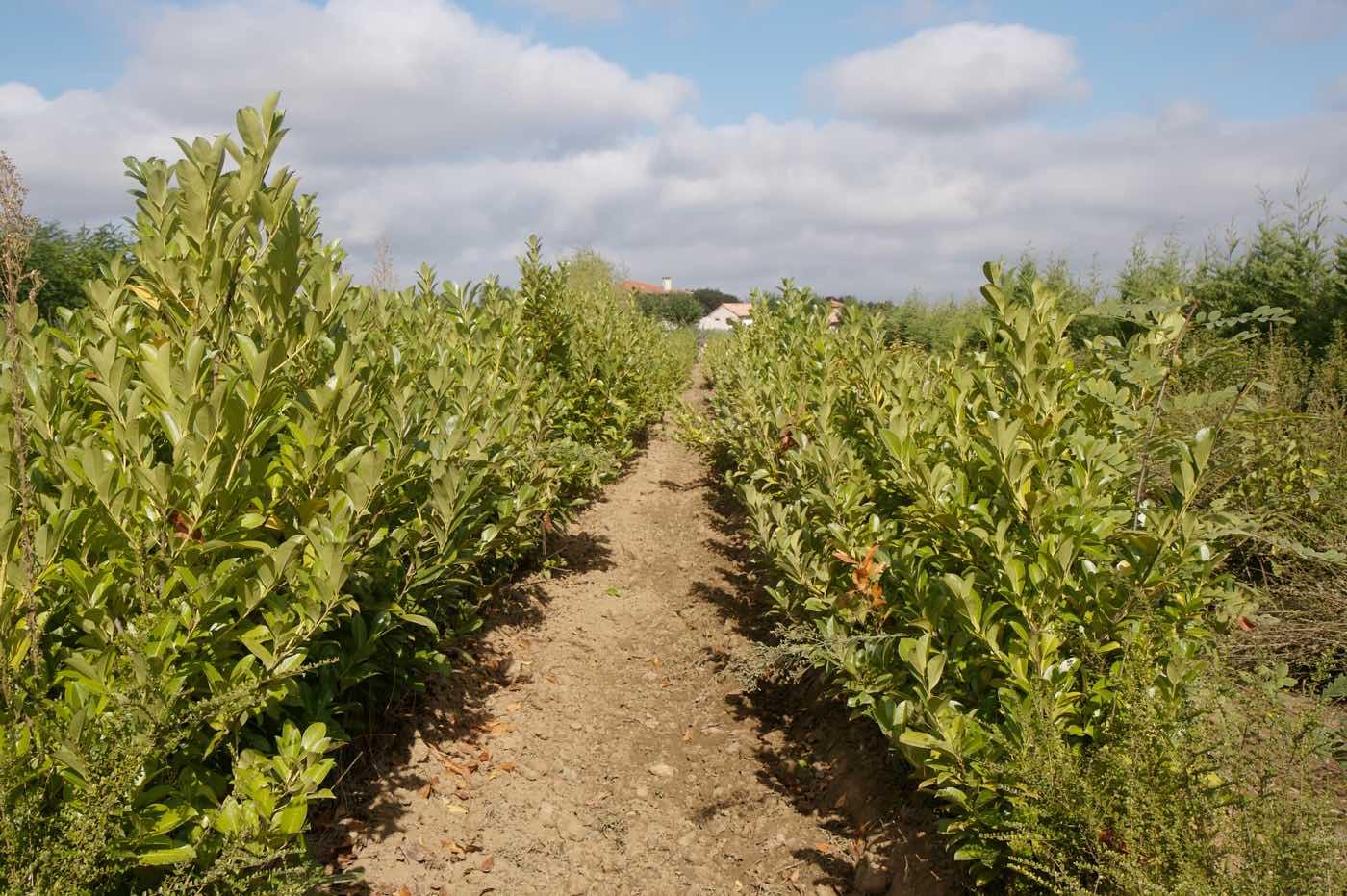 Vente et production de pieds de laurieres déjà grandes - Pépinière de l'Aiguillon jardinerie à Toulouse