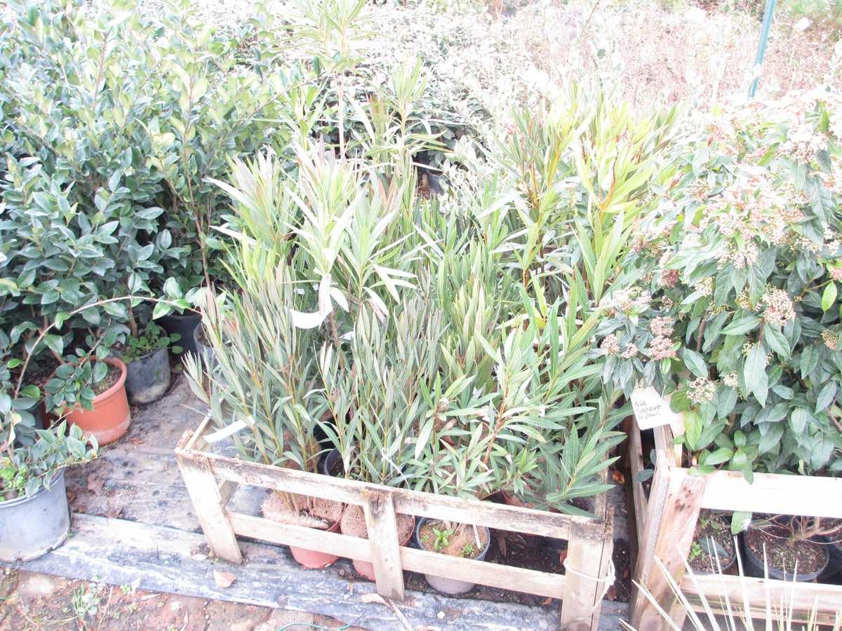 Vente de laurier rose - nerium oleander-  - Pépinière de l'Aiguillon jardinerie à Toulouse