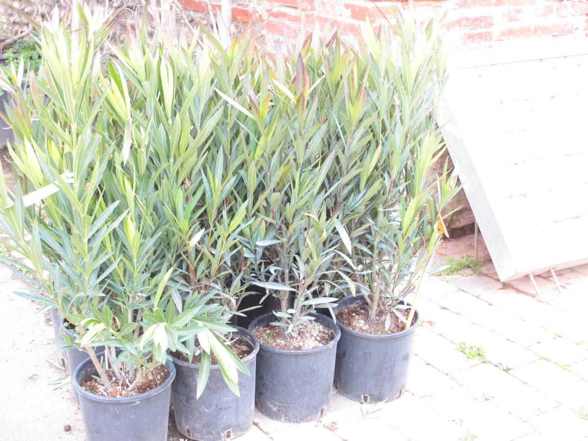 Production et vente de néflier du Japon - eriobotrya japonica- à Toulouse et en Haute-Garonne