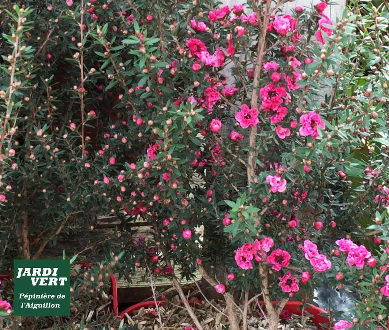 Vente de leptospermum winter cheer - Pépinière de l'Aiguillon à Toulouse
