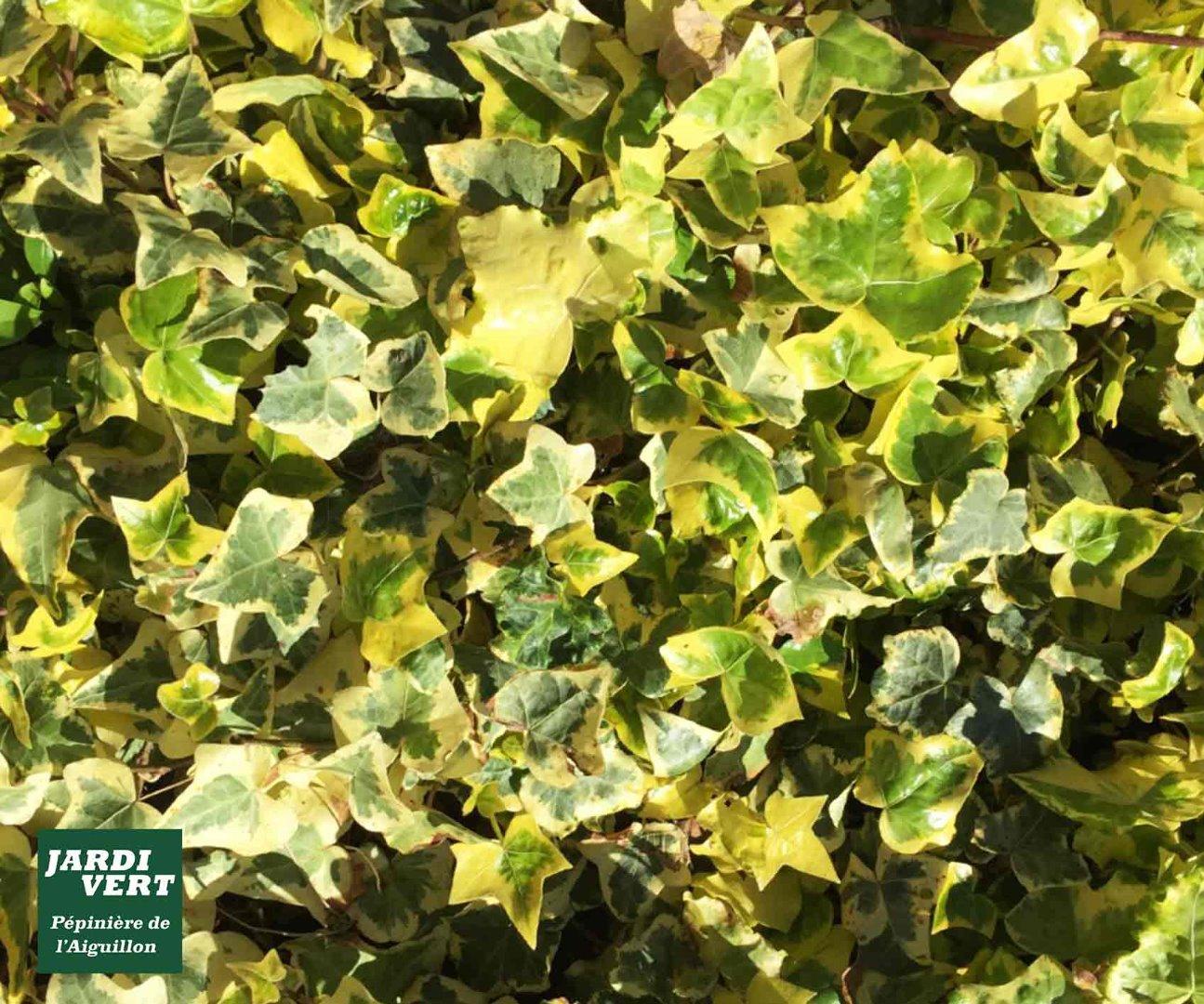 Vente de lierre à grandes ou petites feuilles - Pépinière de l'Aiguillon