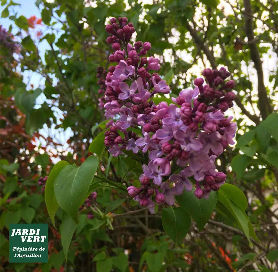 Acheter et planter un lilas parfumé - Jardinerie de l'Aiguillon Toulouse