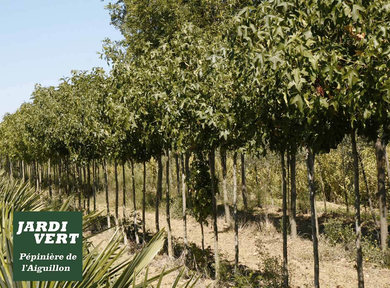 Vente d'acacia boule à Toulouse - Pépinière de l'Aiguillon producteur arboriculteur à Toulouse