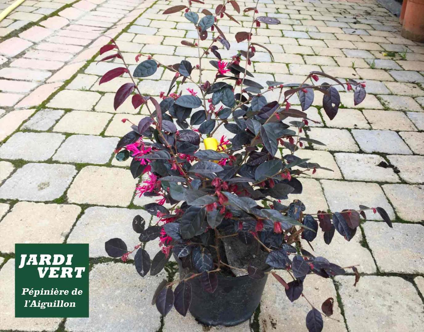 Le loropetalum ou loropétale de Chine, une plante à massif sans faute : persistant, colorée et fleurie !