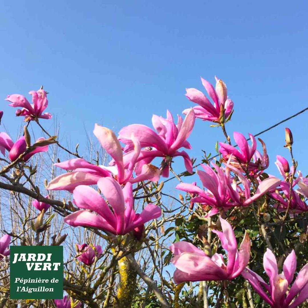 Vente de magnolias à fleurs, tulipiers - stellata, lilflora, soulangiana, grandiflora - Pépinière de l'Aiguillon arboriculteur à Toulouse
