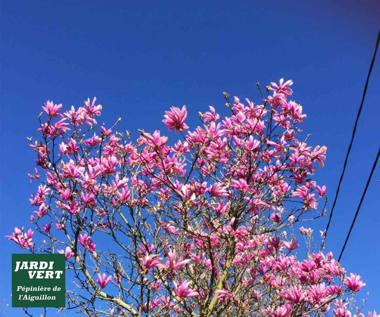 Vente de magnolias caducs : soulangiana, liliflora et stellata - Pépinière de l'Aiguillon Toulouse