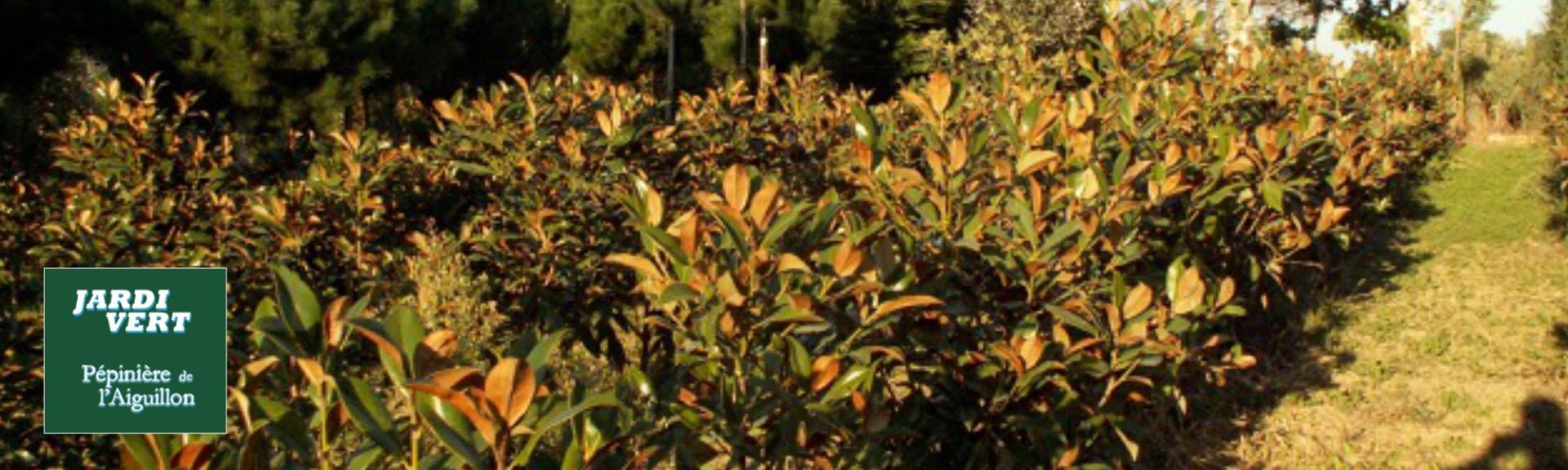 Vente et plantation de magnolia et arbres persistants - Pépinière de l'Aiguillon producteur Toulouse