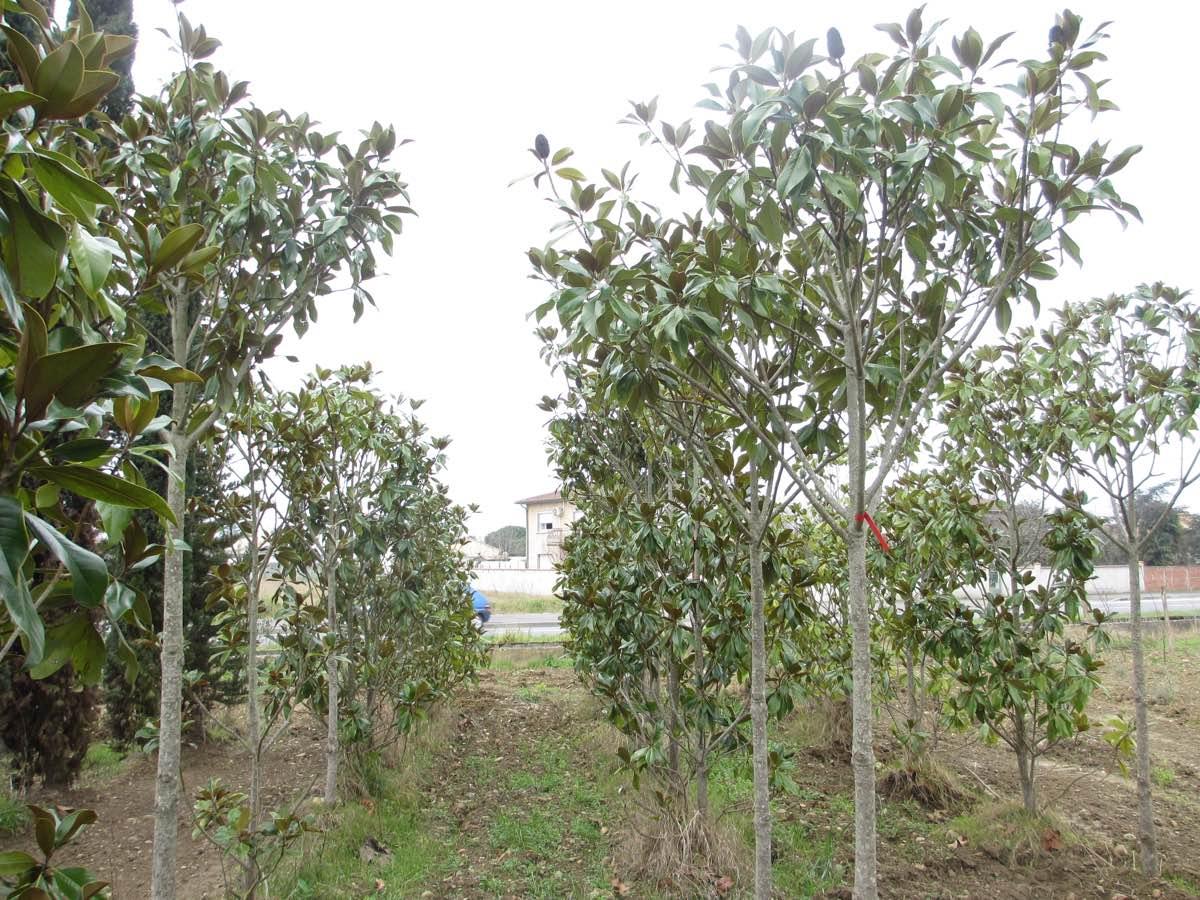 Vente de magnolia ou tulipier adulte - Pépinière de l'Aiguillon producteur Toulouse