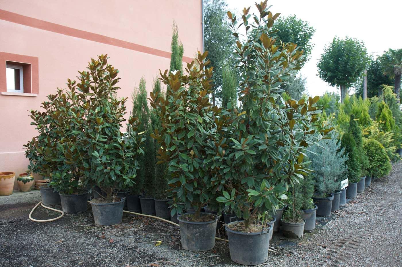 Vente de magnolia grandiflora ou tulipier - Pépinière de l'Aiguillon producteur Toulouse