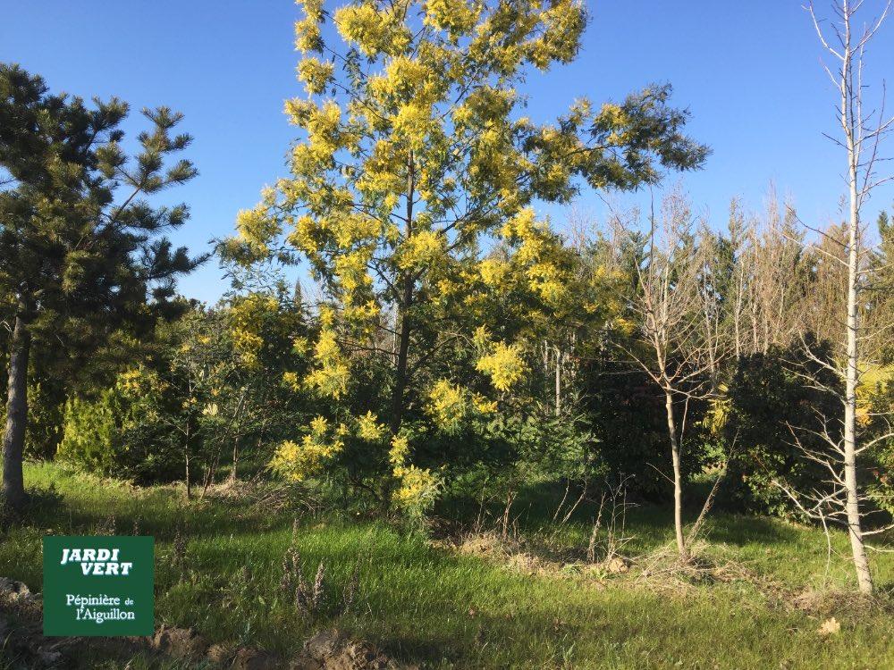 Vente de mimosa acacia - Pépinière de l'Aiguillon producteur Toulouse