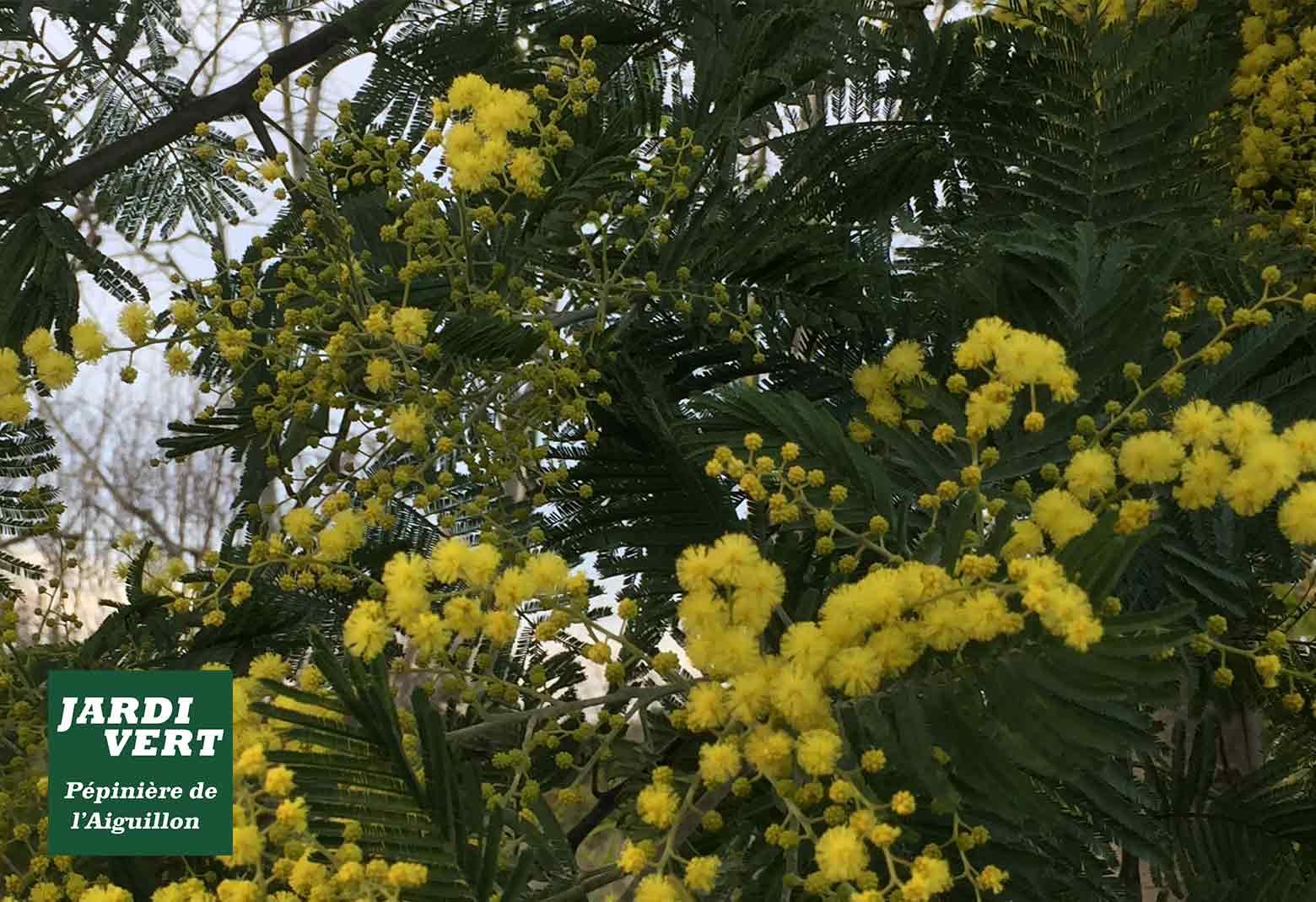 Vente de mimosa à fleurs jaunes - Pépinière de l'Aiguillon, jardinerie à Toulouse