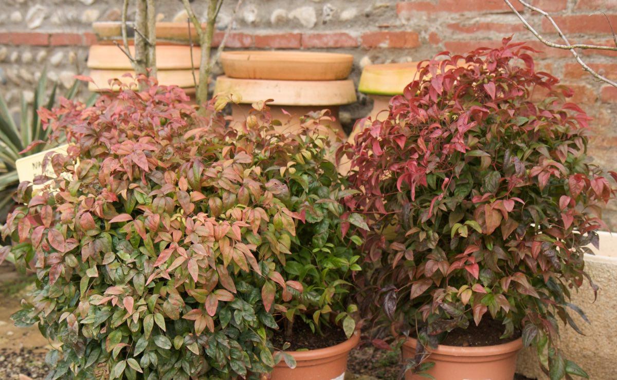 Vente de nandina domestica - Jardinerie Pépinière de l'Aiguillon Toulouse