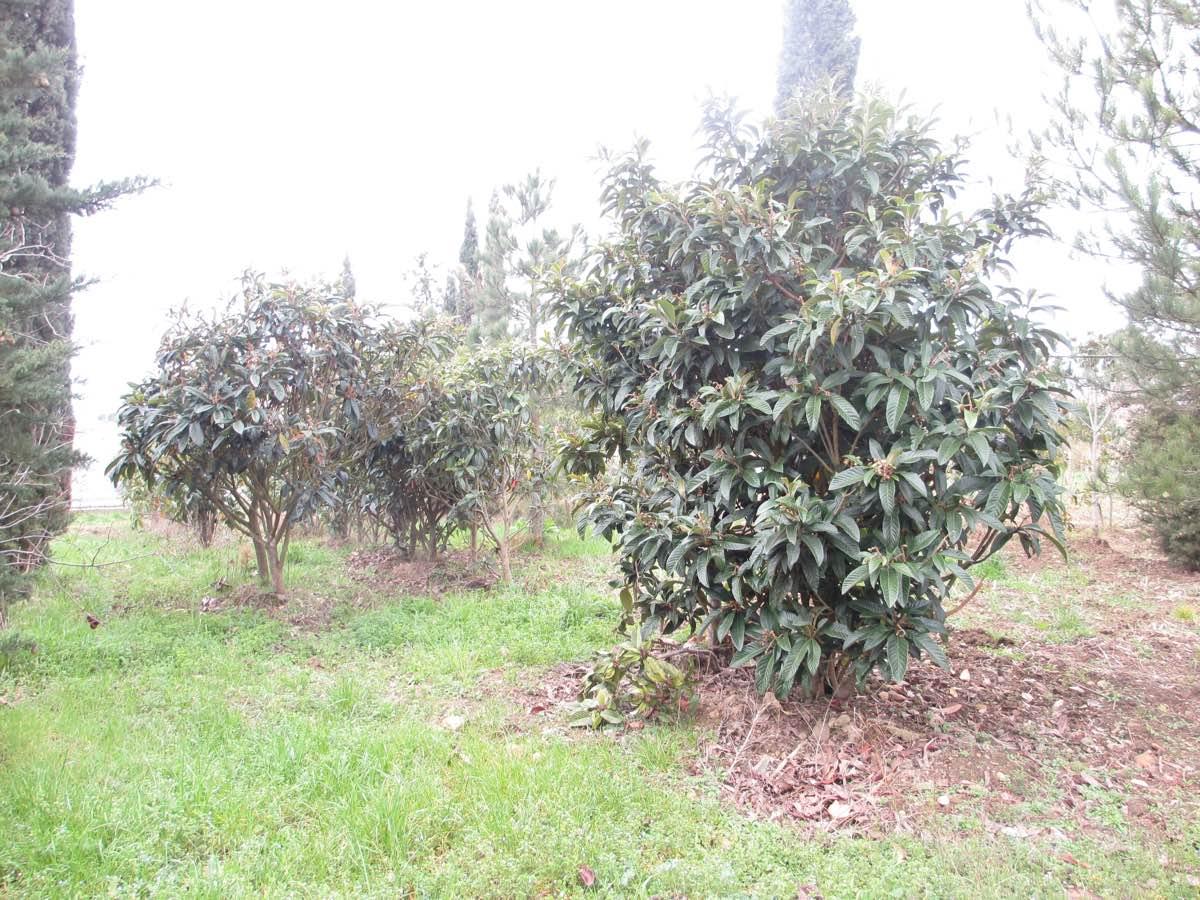 Production et vente de photinias adulte - Pépinière de l'Aiguillon jardinerie à Toulouse
