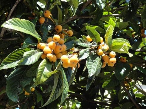 Producteur et vente d'arbres fruitiers type néflier du japon eriobotrya japonica - pépinière aiguillon jardinerie à Toulouse