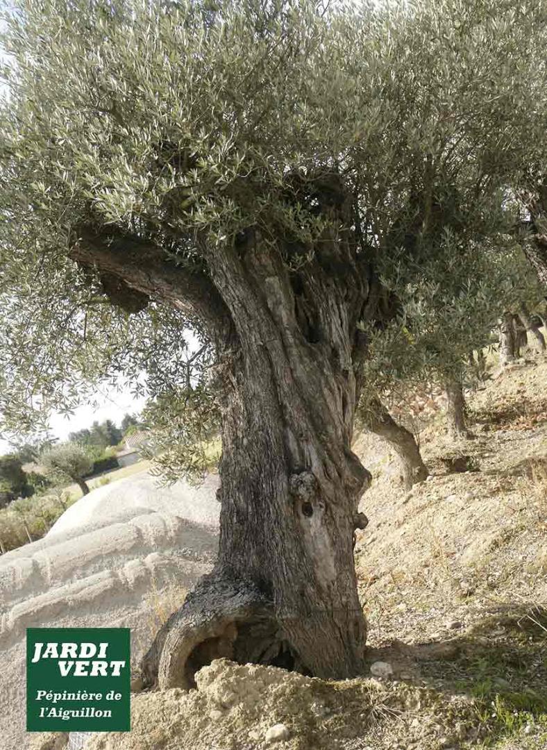 Vente, livraison et plantation d'oliviers olea europea vieux - Jardi Vert, paysagiste à Toulouse