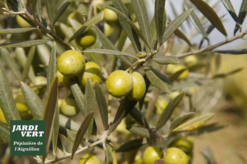 Vente d'oliviers à Plaisance du Touch, Tournefeuille et Pibrac