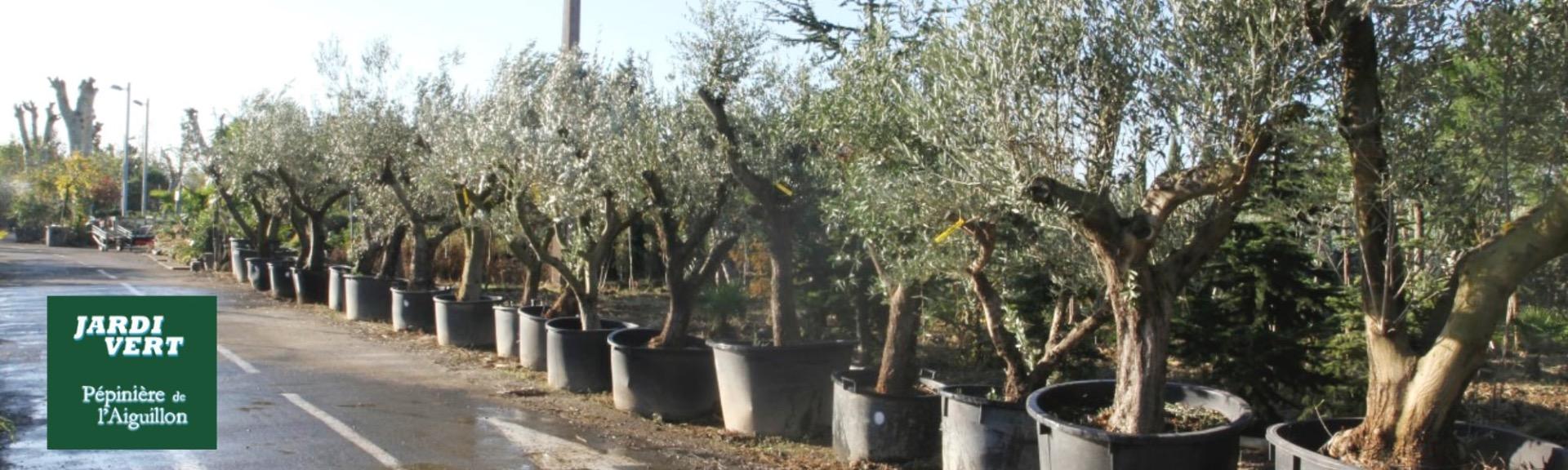 Grand choix d'oliviers à Toulouse - Jardi Vert Pépinière de l'Aiguillon