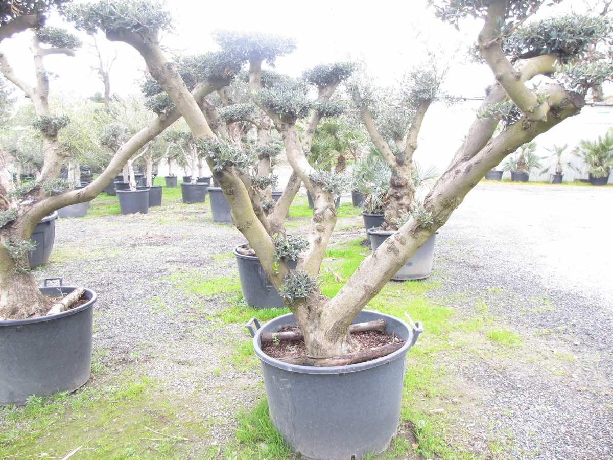 Vente d'oliviers nuage à Toulouse  - Jardi Vert Pépinière de l'Aiguillon
