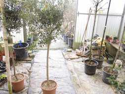 Vente d'oliviers tige en pots - Jardi Vert, Pépinière de l'Aiguillon à Toulouse