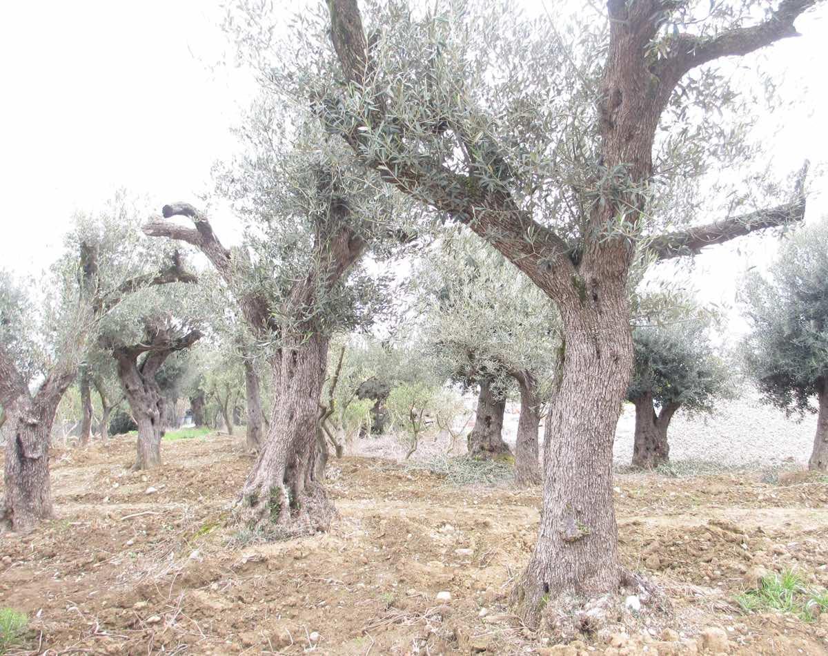 Où acheter un vieil olivier à Toulouse - Jardi Vert Pépinière de l'Aiguillon