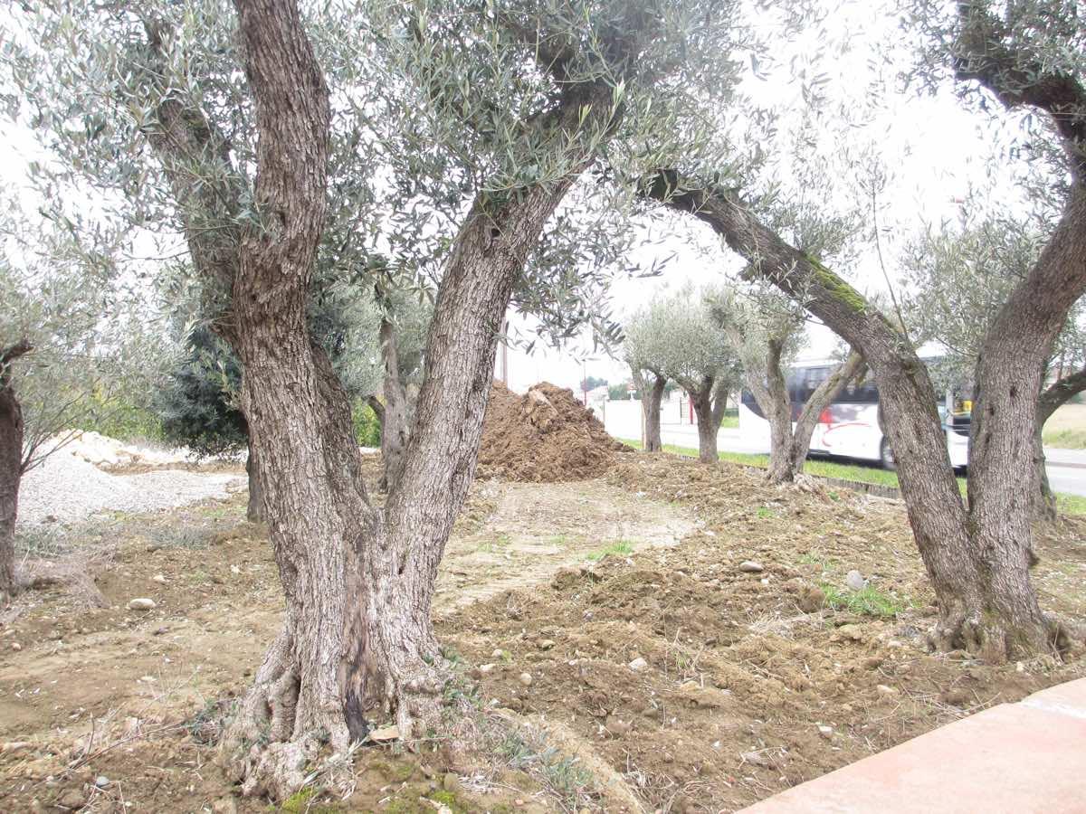 Vente de vieux oliviers à Toulous - Jardi Vert Pépinière de l'Aiguillon