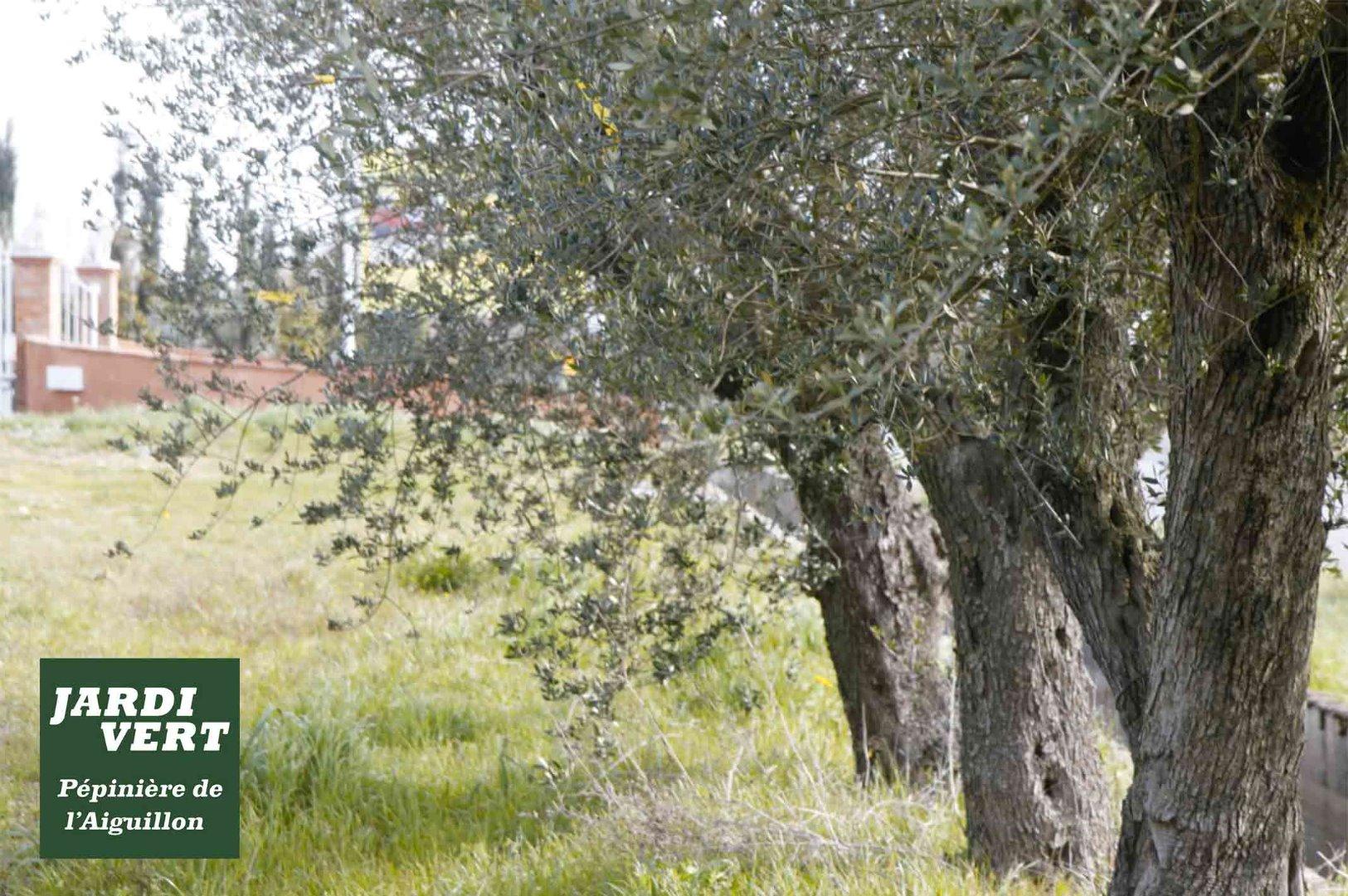 Vente et plantations d'oliviers centenaires d'Espagne - Pépinière de l'Aiguillon près de Muret, Colomiers et Saint-Simon