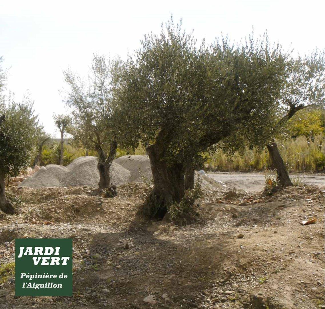 Vente de gros oliviers vieux à Toulouse - Jardi Vert, pepinieriste et paysagiste à Toulouse