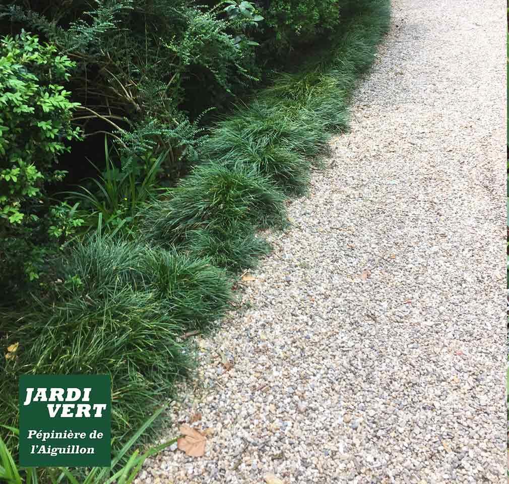 L'ophiopogon vert ou Muguet du Japon, spécial gazon ombragés ou massif sans entretien