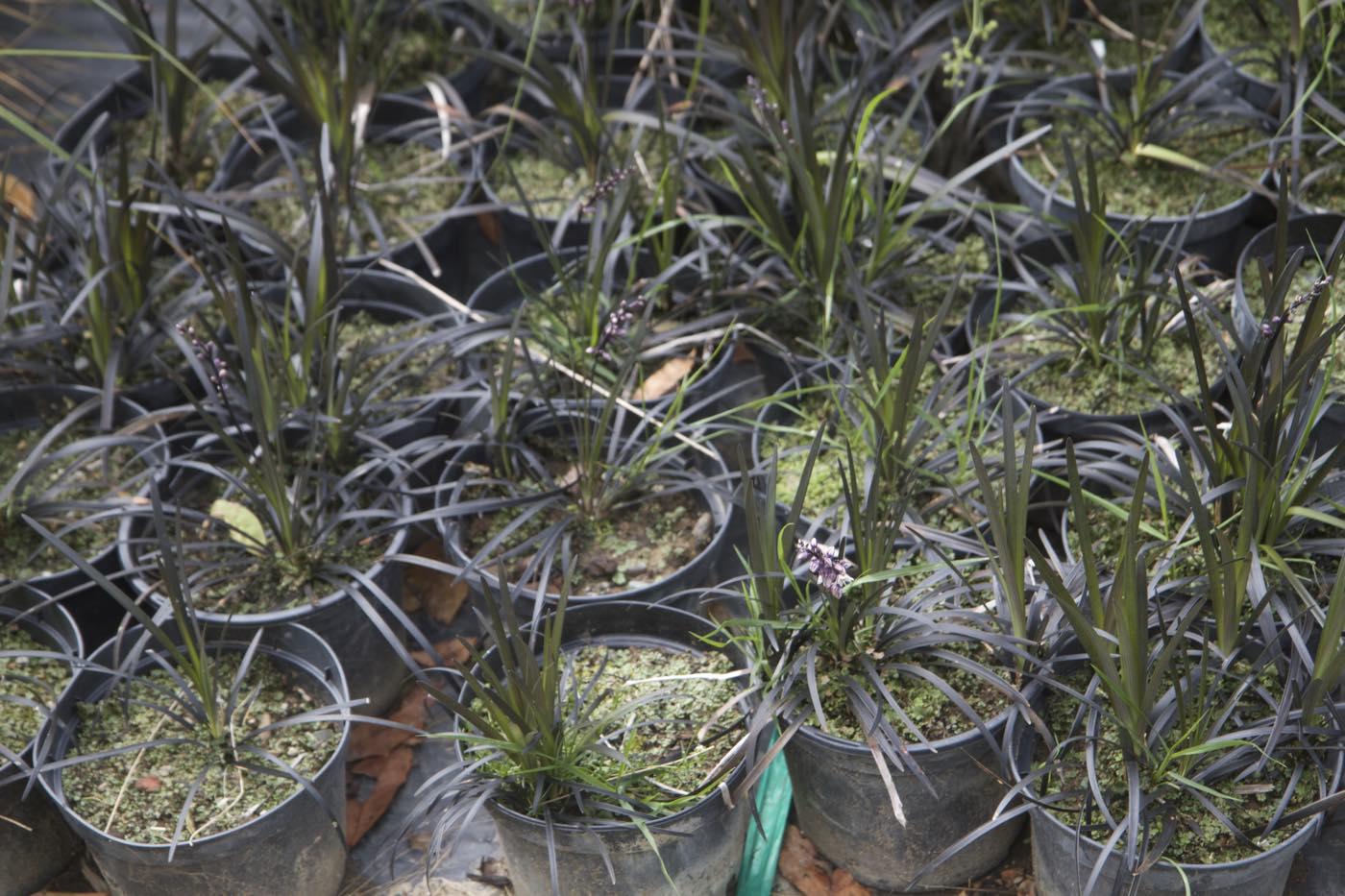 Vente d'ophiopogon pour jardin japonais - Jardinerie Pépinière de l'Aiguillon Toulouse