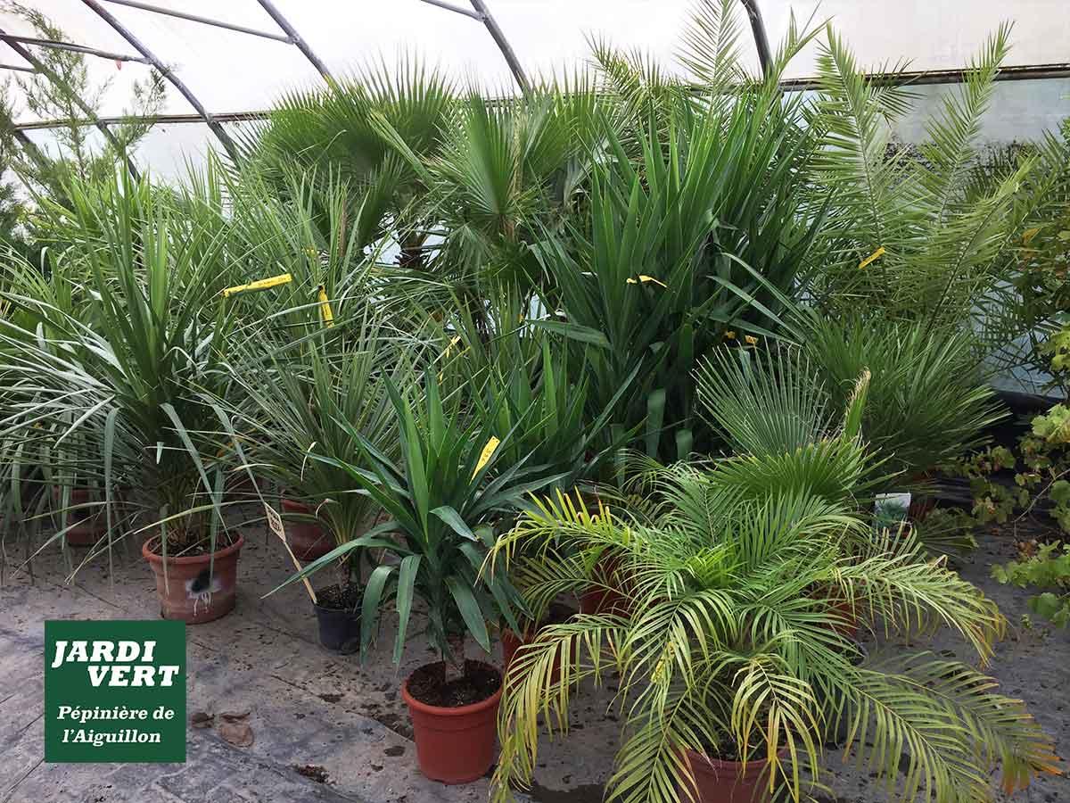 Aménager un jardin méditerranéen avec des palmiers - Jardinerie de L'Aiguillon à Frouzins