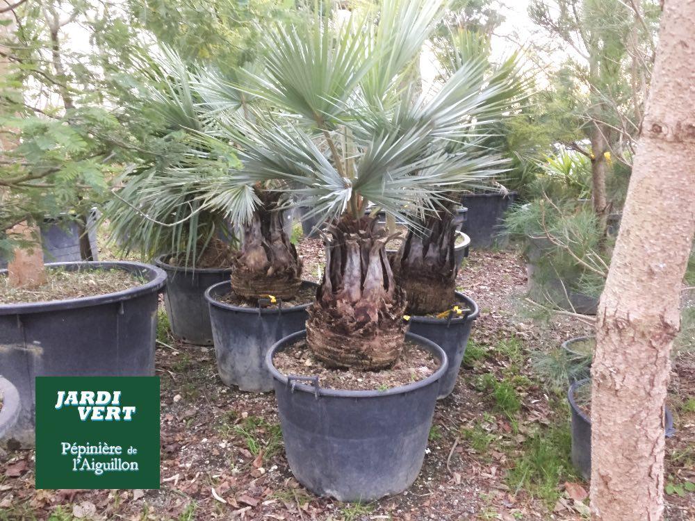 Vente de palmiers de producteur à Toulouse