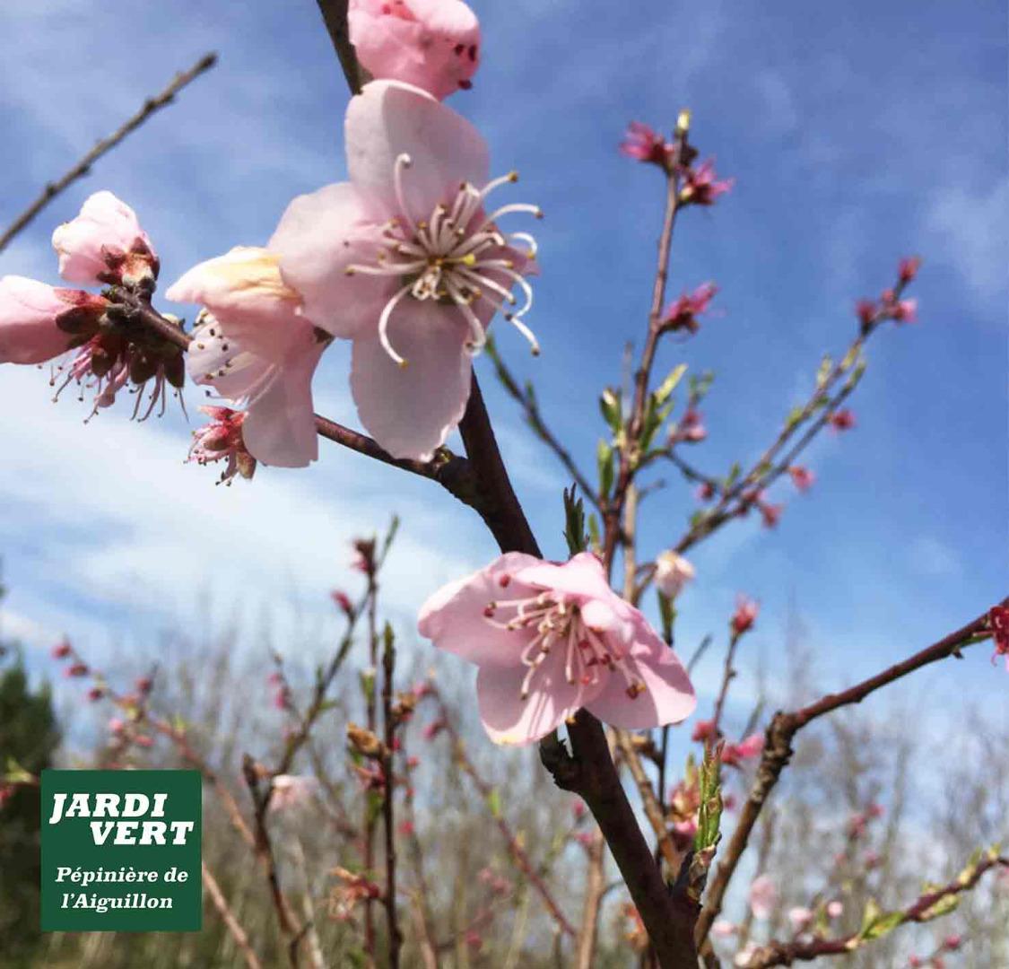 Le pecher : un petit arbre fruitier délicatement fleuri - Pépinière de l'Aiguillon à Toulouse