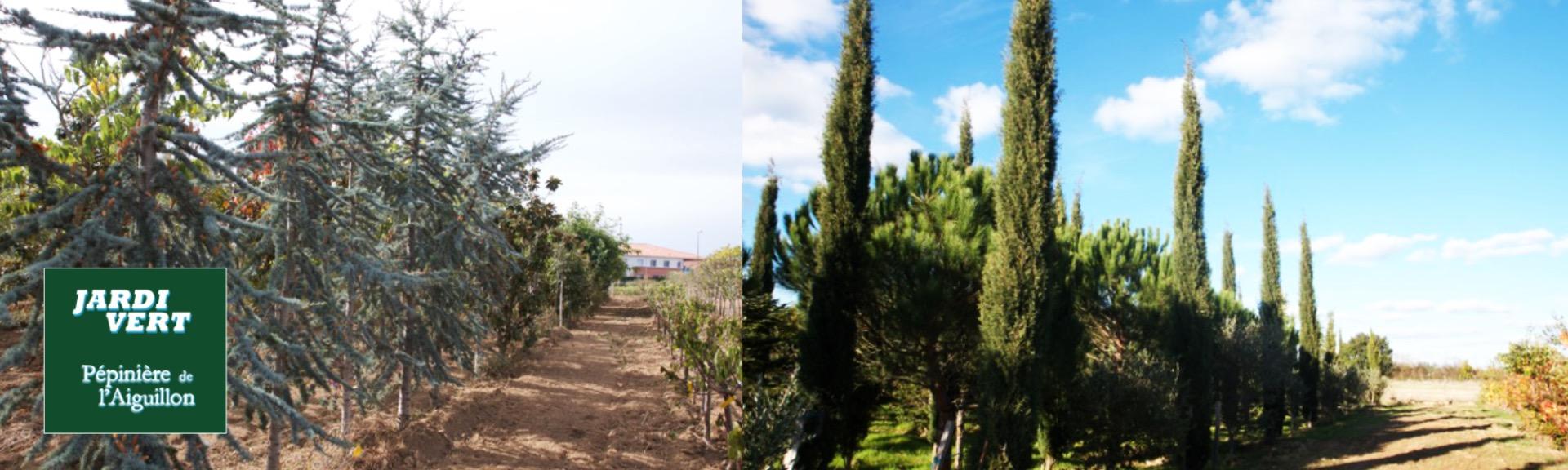 Vente de grands coniferes d'exception - Pépinière de l'Aiguillon producteur Toulouse