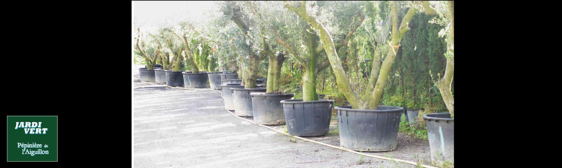 Grand choix d'oliviers toutes tailles à Toulouse -  - Jardi Vert Pépinière de l'Aiguillon