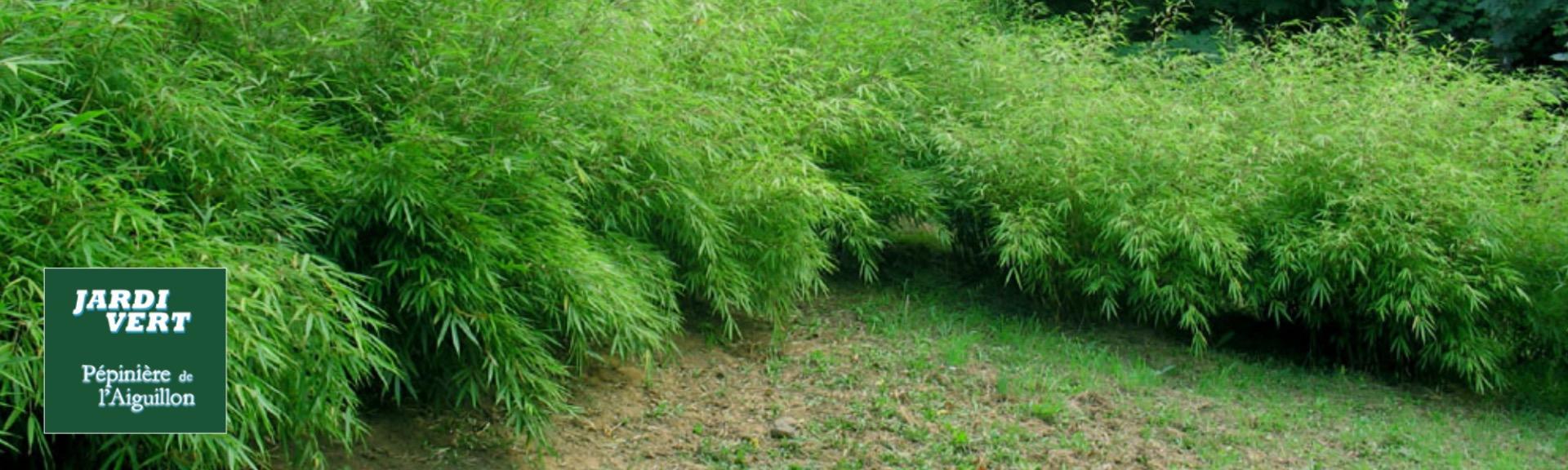 Bambou fargesia non tracants sans barriere - Pépinière de l'Aiguillon Toulouse