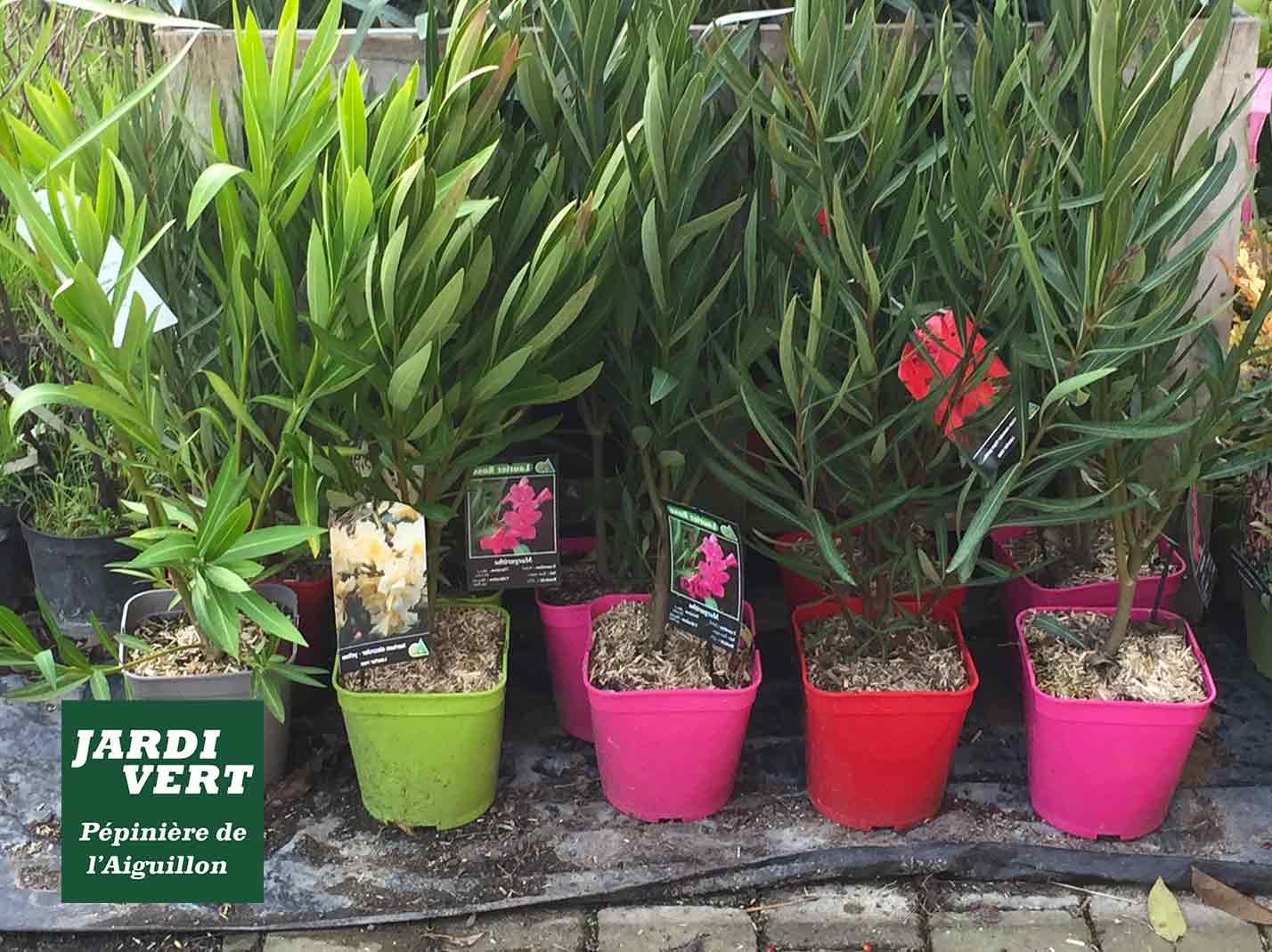 Vente de petits lauriers de couleur - rouges, roses, jaunes, blanc, saumon - Jardinerie de l'Aiguillon Frouzins