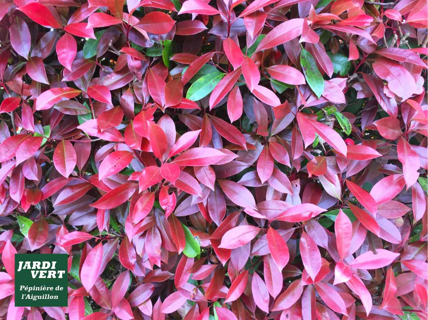 Ou trouver un photinia red robin de qualité ? Pépinière de l'Aiguillon Toulouse