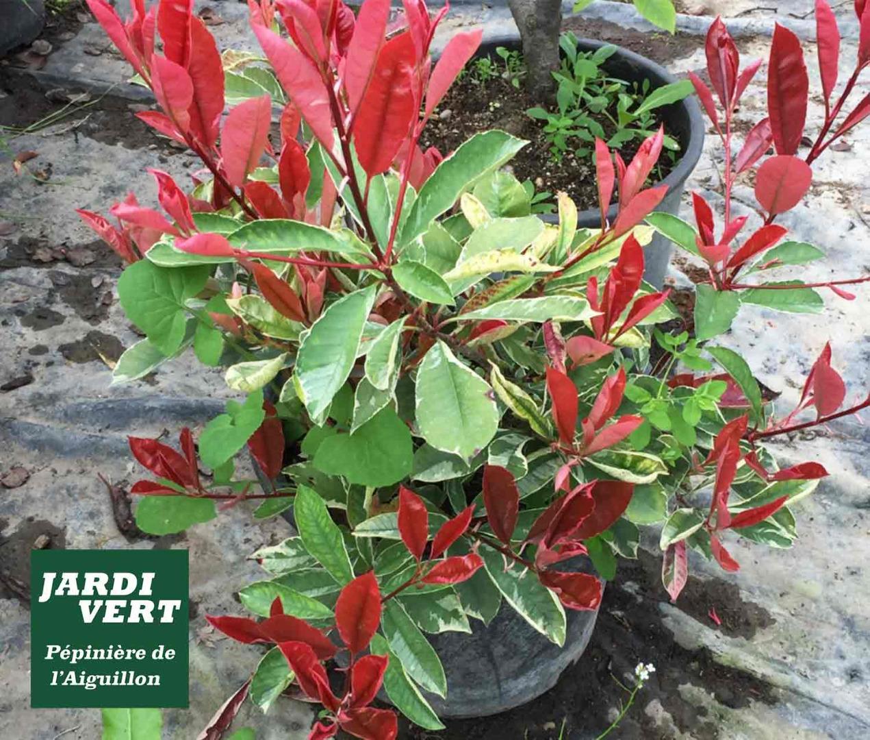 Vente de photina fraseri red robin à feuillage panaché pour haie décorative - Pépinière de l'Aiguillon près de Pibrac, Tournefeuille et Colomiers