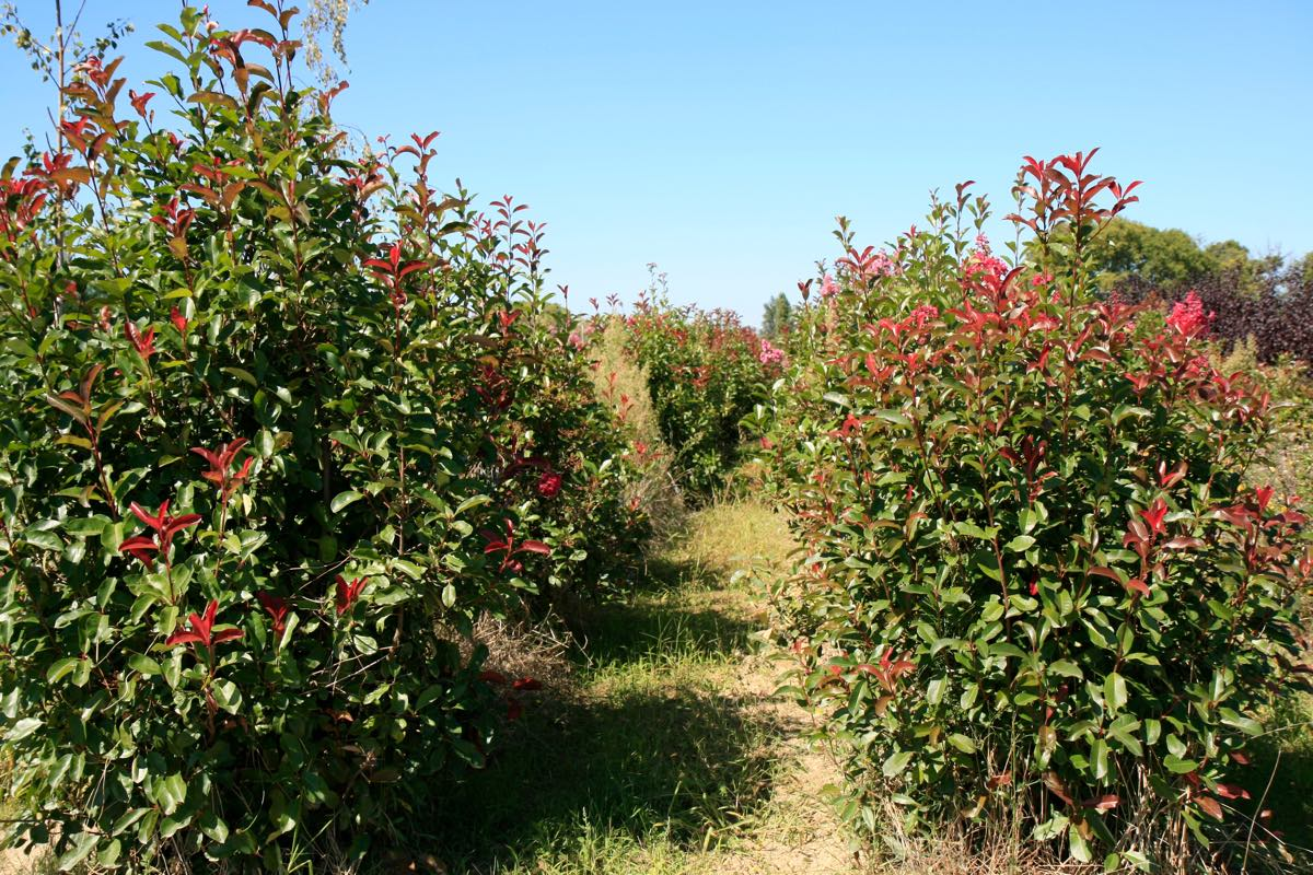 Vente de lauriers rouges - Pépinière de l'Aiguillon jardinerie à Toulouse