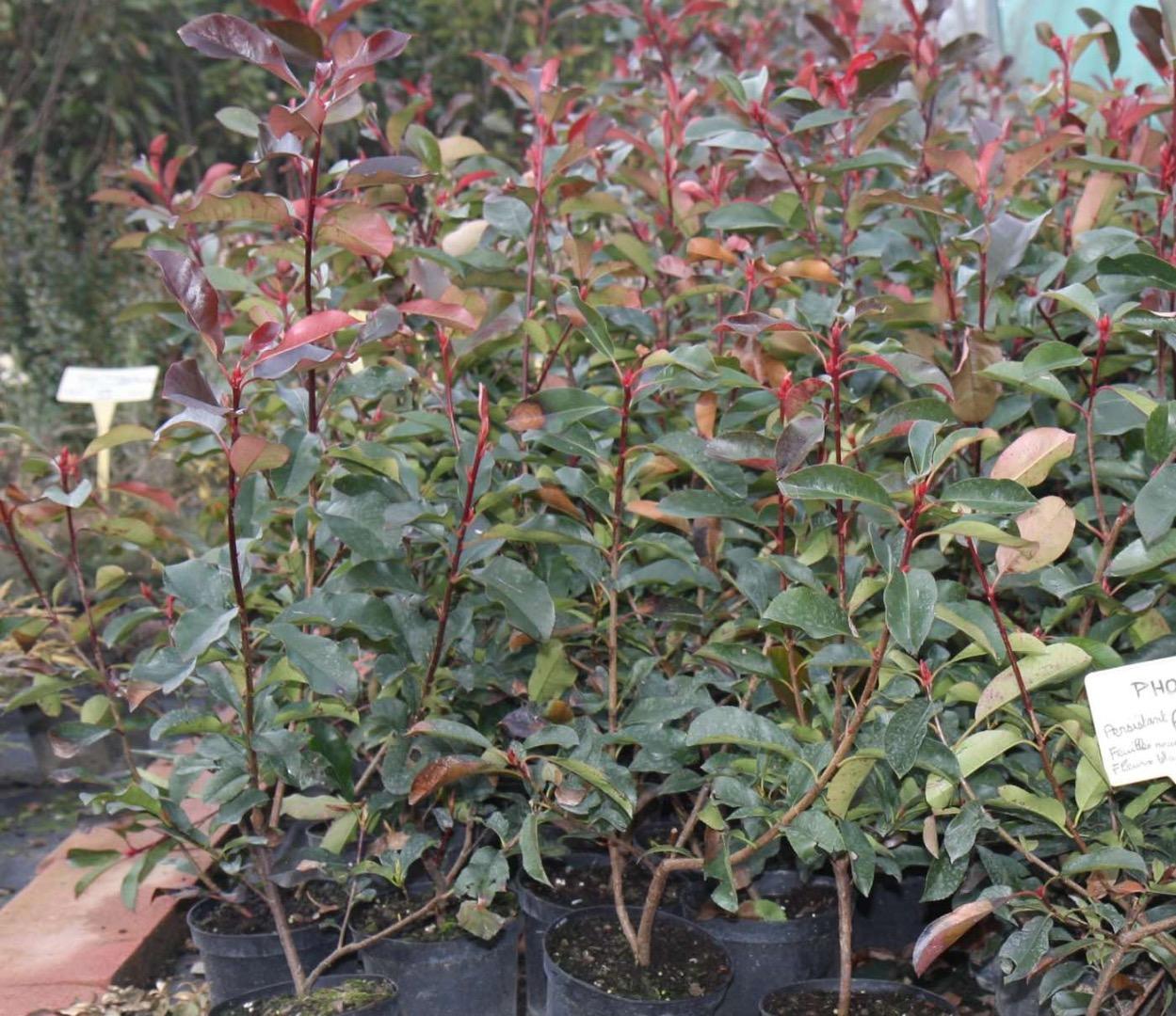Pieds de lauriers roses, rouges et blancs en containers