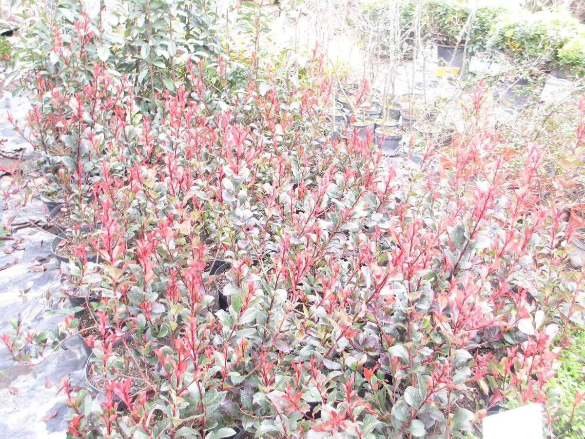 Vente de photinias nain ou mini - Jardinerie Pépinière de l'Aiguillon Toulouse