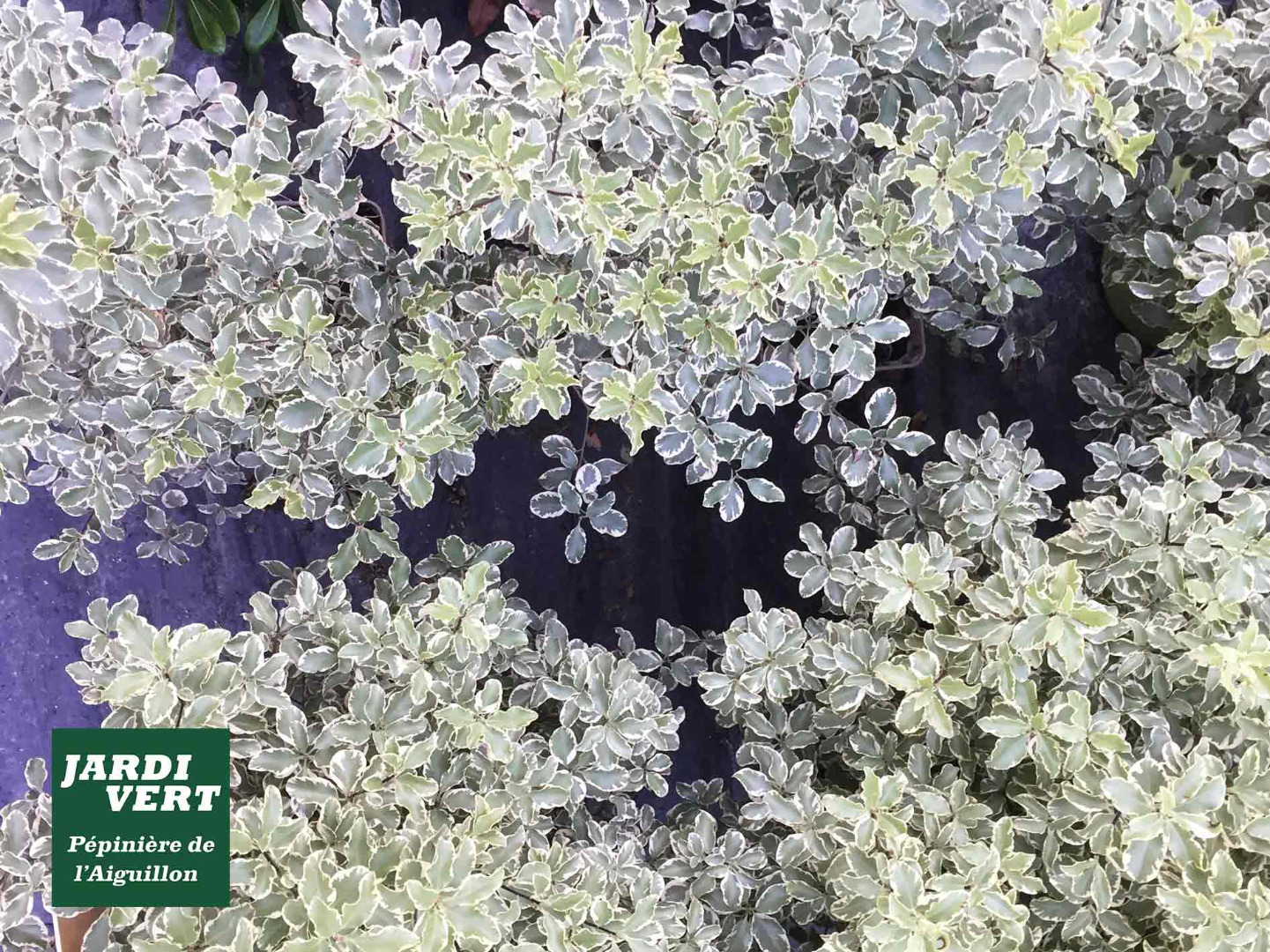Vente de Pittospore (pittosporum tenuifolium) - Jardinerie de l'Aiguillon Toulouse