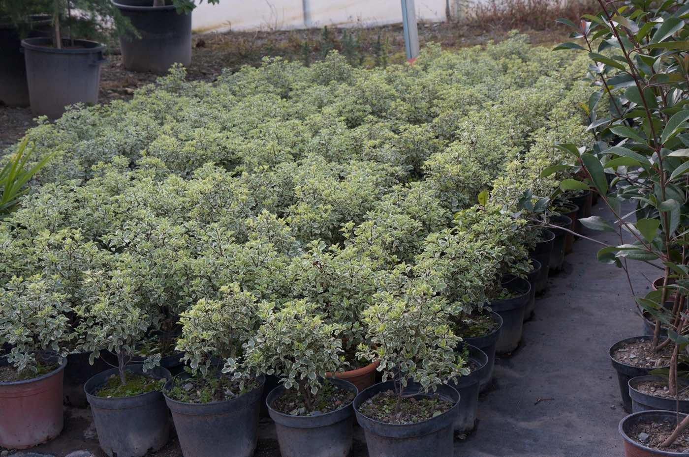 Vente de pittosporum ou pittospores - Jardinerie Pépinière de l'Aiguillon Toulouse