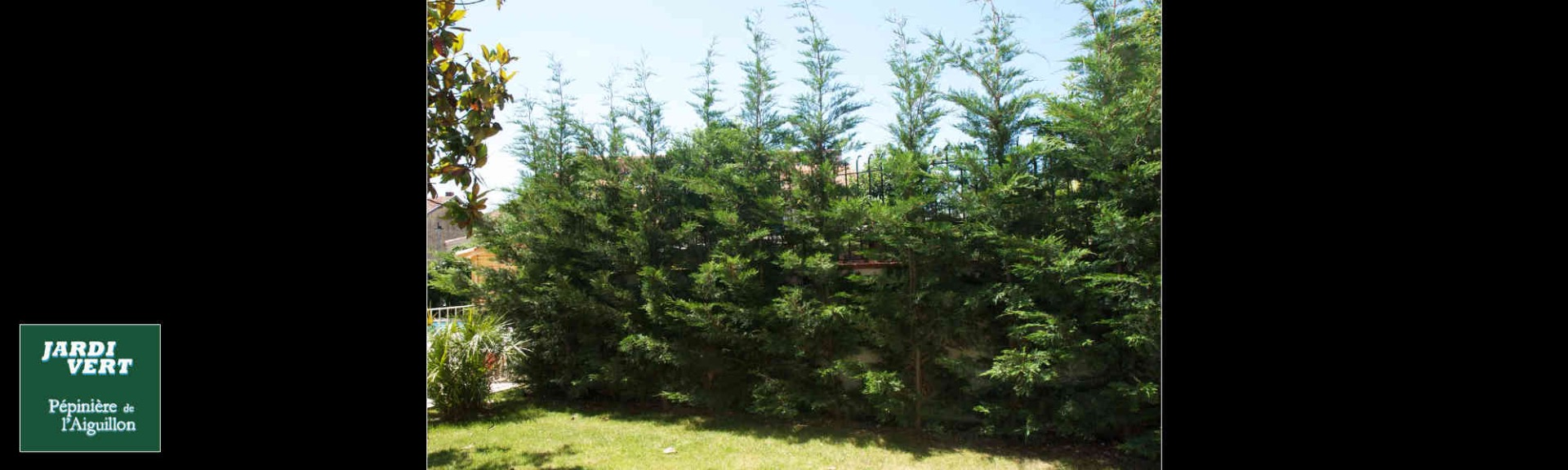 Plantation de cypres de haie  - Pépinière de l'Aiguillon producteur Toulouse.jpg